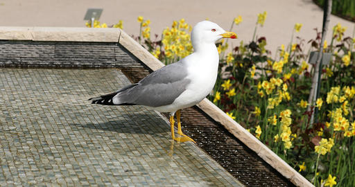 Beautiful Gull Standing In The Fountain Footage