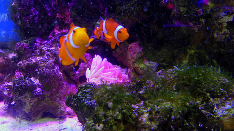 Marine Life With Tropical Fish Swimming In Aquarium Footage