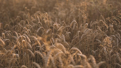 Golden Wheat Fields Footage