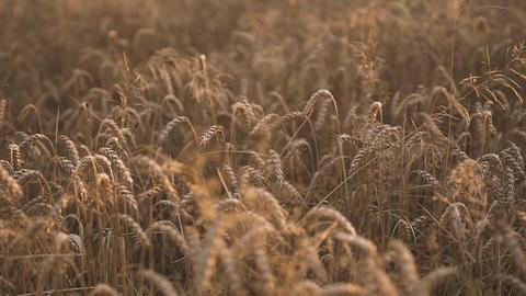 Golden Wheat Fields Footage
