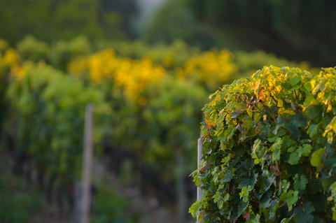 Saint-Emilion-Vineyard landscape-Vineyard south west of France Photo