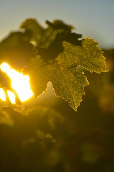 Vine Leaf and sun フォト