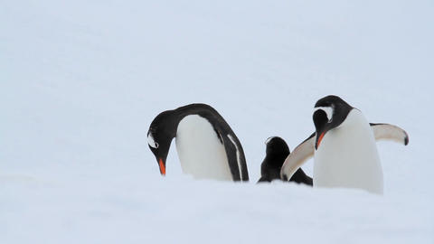 Gentoo Penguins in Antarctica, Live Action