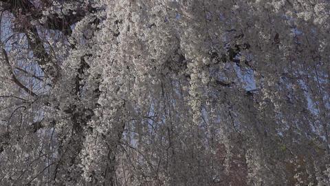 京都東山・三寧坂と桜 GIF