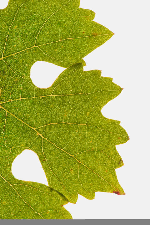 Grape leaf isolated on whith フォト