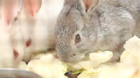 Bunny rabbit eating in the cage Live Action