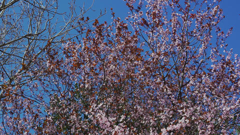 Cherry blossom tree with pink and red flowers on blue sky background ビデオ