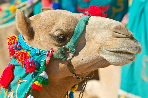 Egypt - Camel in the desert-Aswan Photo