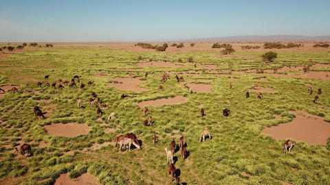 Aerial view on herd of camels grazes in Morocco Footage