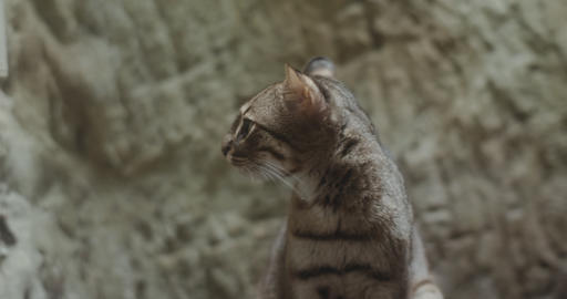 Portrait of a Rusty Spotted Cat Footage