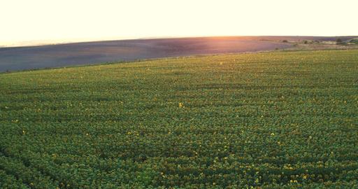 Field Sunflowers at Golden Sunset Footage