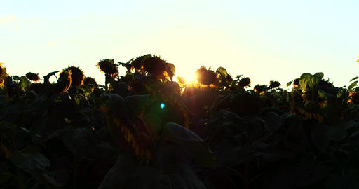 Flowering Sunflowers on a Background Sunset in 4k Footage