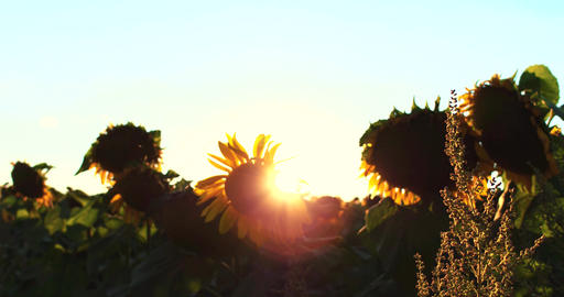 Flowering Sunflowers on a Background Sunset in 4k UHD Footage