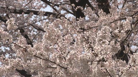 cherry blossom (sakura hanami) blue sky japan spring 영상물