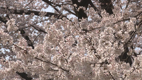cherry blossom (sakura hanami) blue sky japan spring ビデオ