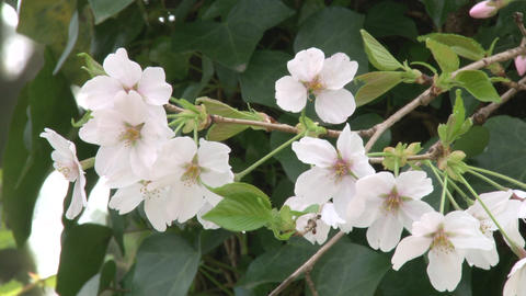 cherry blossom (sakura hanami) japan spring 動画素材, ムービー映像素材