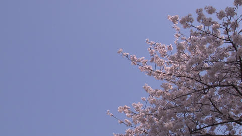 cherry blossom (sakura hanami) blue sky japan spring 動画素材, ムービー映像素材