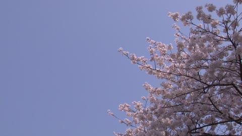 cherry blossom (sakura hanami) blue sky japan GIF