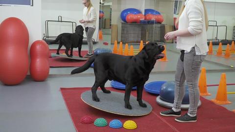 Cynologist trains labrador to keep balance at the platform Footage