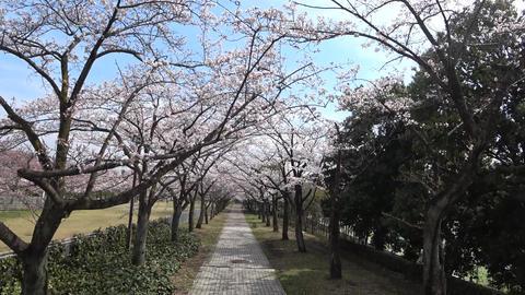 Walking under cherry blossoms or Sakura Footage
