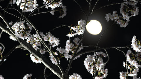 Cherry blossoms or Sakura in full bloom under the moon Live Action