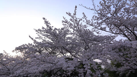 Cherry blossoms or Sakura in full bloom Live Action