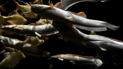 Golden carps and white catfishes swimming around in underwater dark, fishes in Footage