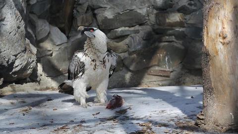 White eagle eats meat Live Action