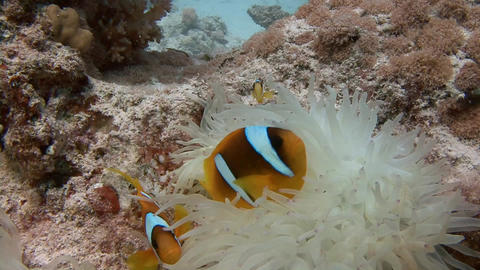 Diving in the Red sea near Egypt. Symbiosis of clown fish and anemones Live Action