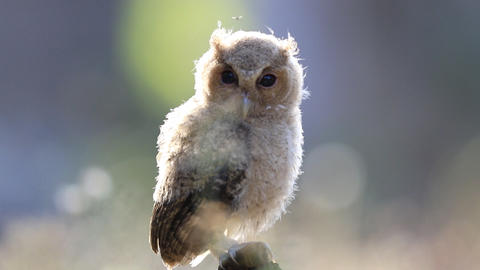 Baby of Collared scops owl Footage