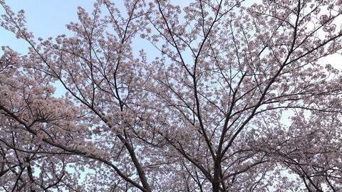 Cherry blossoms or Sakura in full bloom 영상물