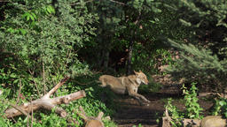 Hungry wild grey wolf running in green forest. Furry canis lupus wolf hunting in Footage