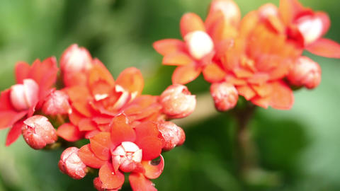 Flowers Beautiful Geraniums Live Action