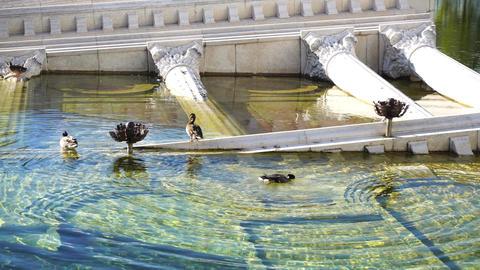 Ducks in Pond Footage