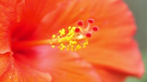 Flowers Or Shoeblack Plant Or Hibiscus Rosa-Sinensis Footage