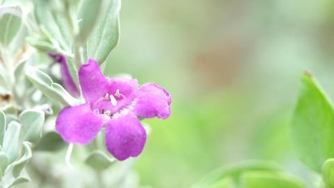 Flowers Or Nyctaginaceae Flower Footage