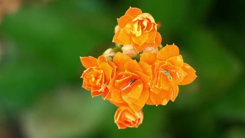 Lantana Camara Flowers Or Flowers Footage