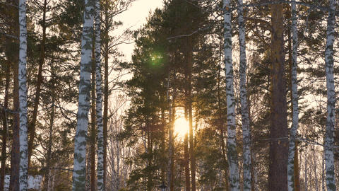 Beautiful sun rays through trees in winter forest. Winter sun in forest. Sunbeam Live Action