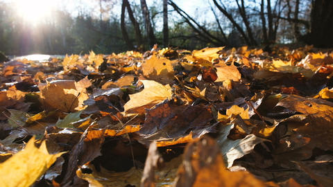 Falling leaves in the autumn forest at sunset slow motion Footage