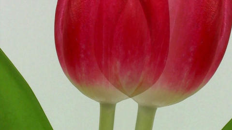 Tulip flower close up with slow sliding motion Footage
