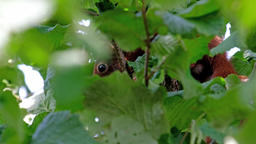 Squirrel hiding in a walnut tree Footage