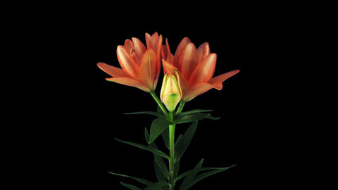 Growing, opening and rotating orange lily in RGB + ALPHA matte format Footage