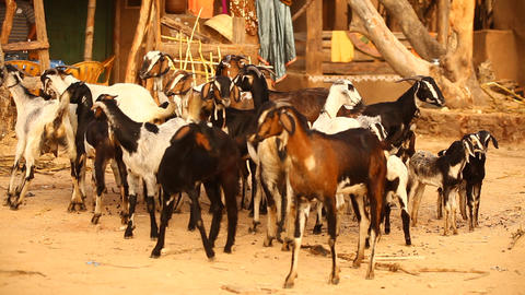 Goats at rural area village Footage