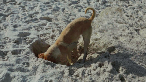 funny dog digging a hole on the beach Footage
