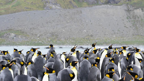 King Penguins with chick Live Action