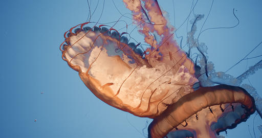 Cinematic portrait of a large jellyfish Live Action