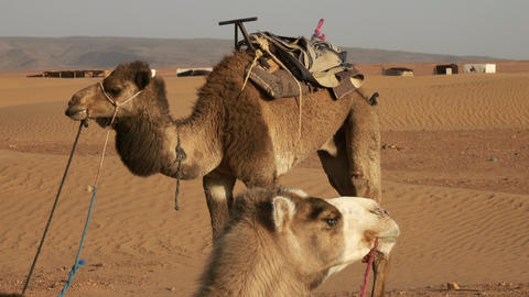 Two camels resting in Sahara desert Footage