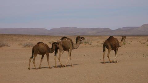 Group of camels walking in Sahara desert Footage
