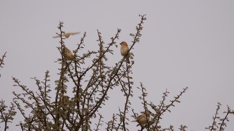 Desert lark birds on tree branches in desert Live Action