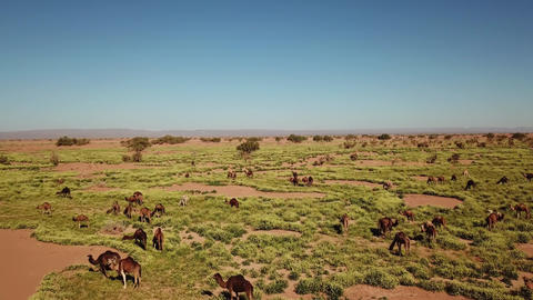 Aerial view on herd of camels grazes near desert Footage